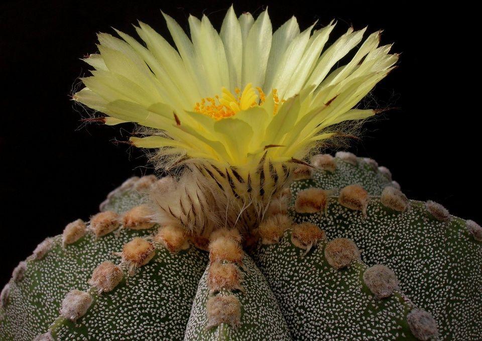 Cactus astrofito