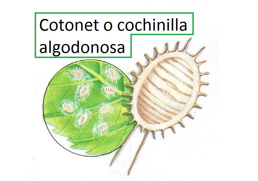 Cotonet o cochinilla algodonosa