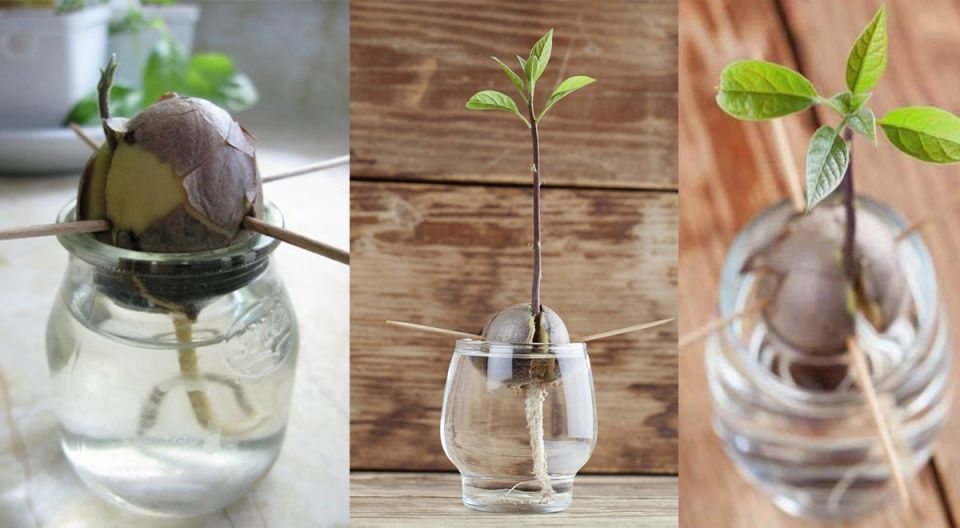 Cultivar aguacate