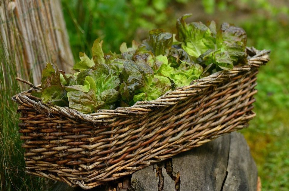 Cultivar calabaza