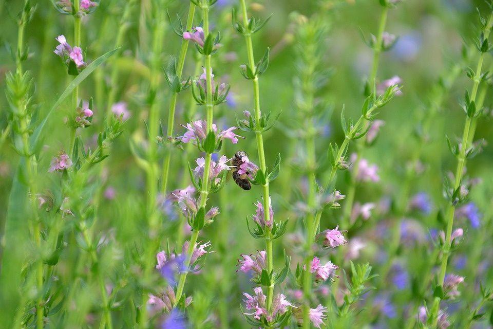 Hisopo planta medicinal
