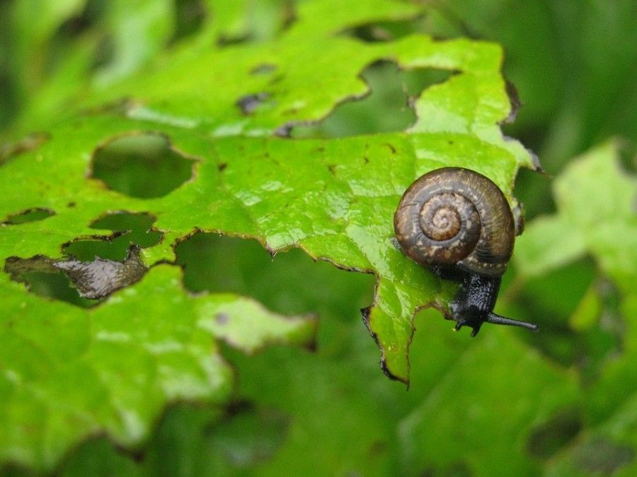 Los caracoles son enemigos de las plantas