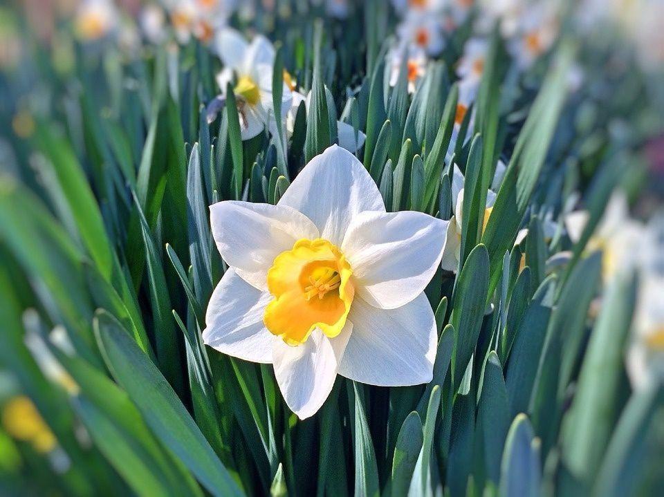 El Narciso Una Flor De Gran Simbolismo Y Valor