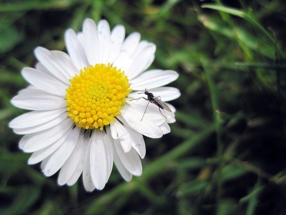 Plantas ahuyentar mosquitos