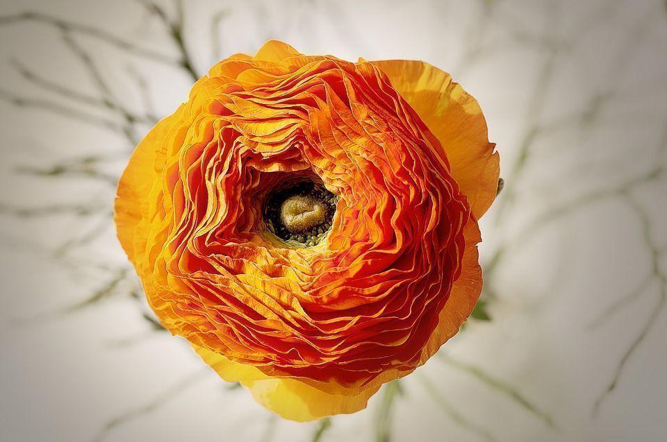 ranunculos naranja
