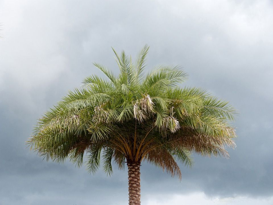 arbol-palmera
