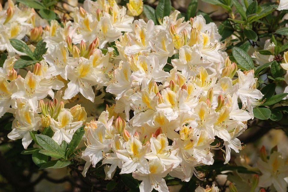 azalea-blanca
