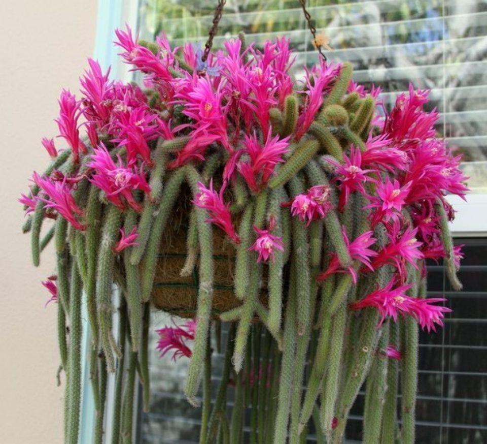 Cactus cola de rata una planta ideal para balcones for Cactus cuidados exterior