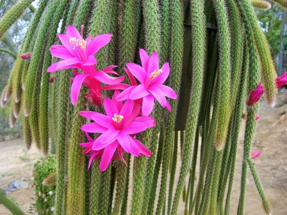 Cactus cola de rata una planta ideal para balcones for Ahuyentar ratas jardin