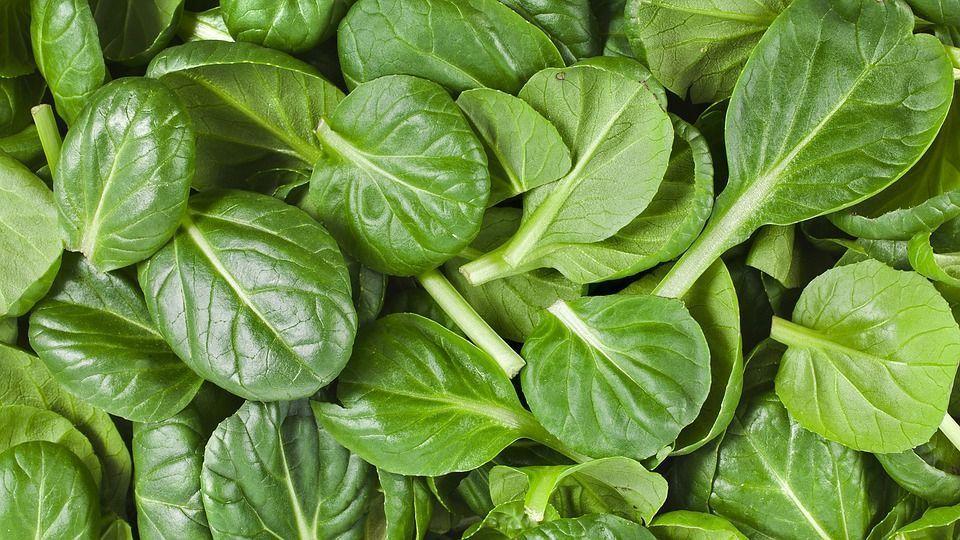 cultivo-espinaca