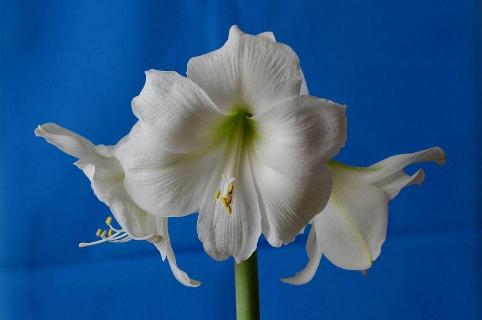 Hippeastrum blanco