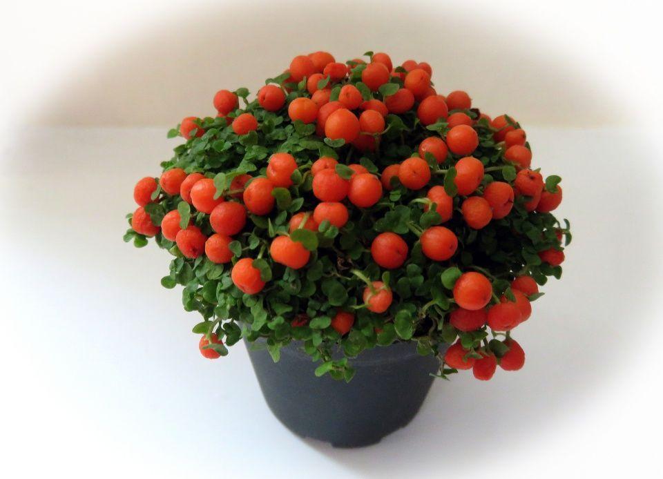 Nertera o planta canicas