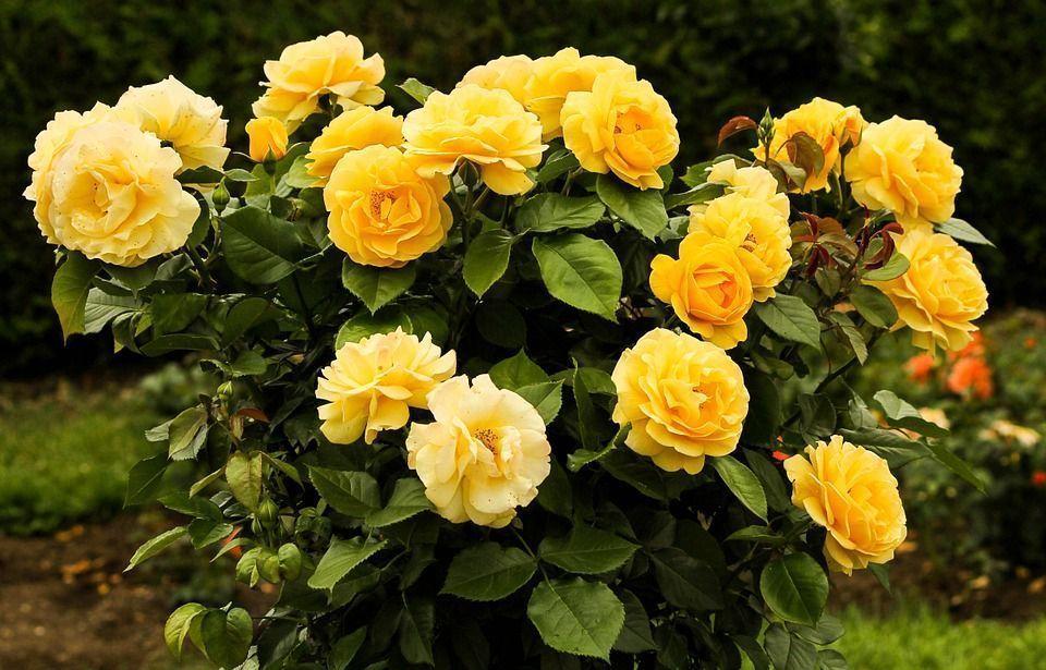 rosal-amarillo