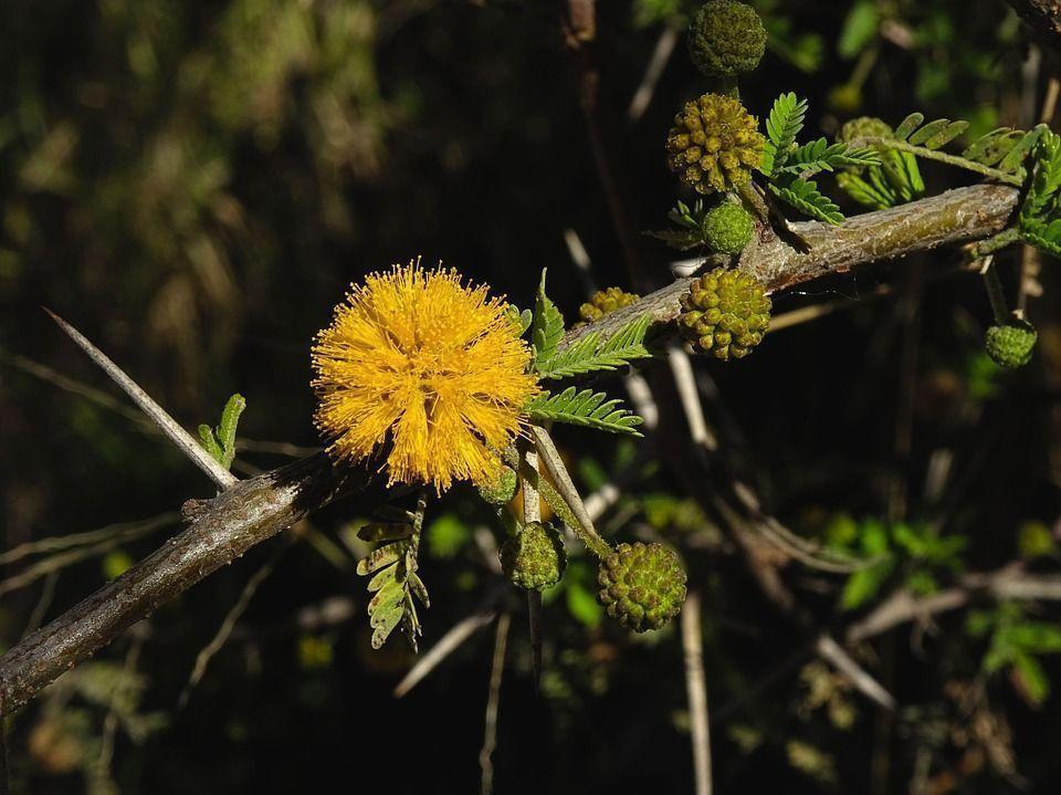 acacia-mimosa