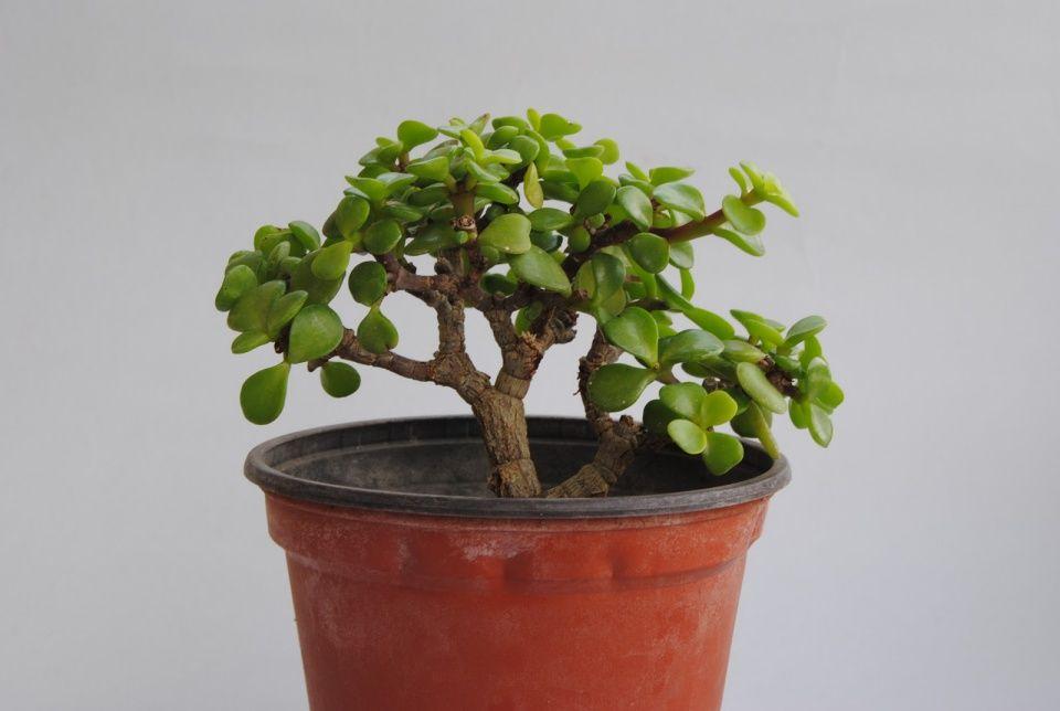 cuidados-planta-jade
