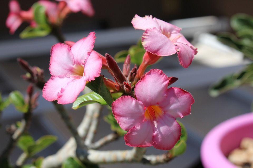 rosa-del-desierto