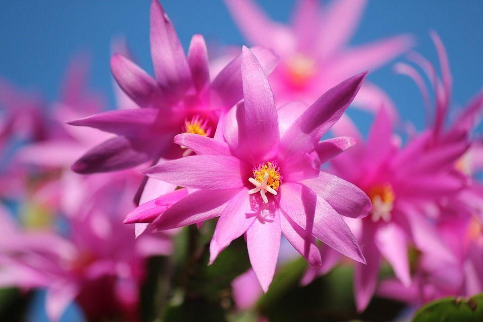 cactus-navidad