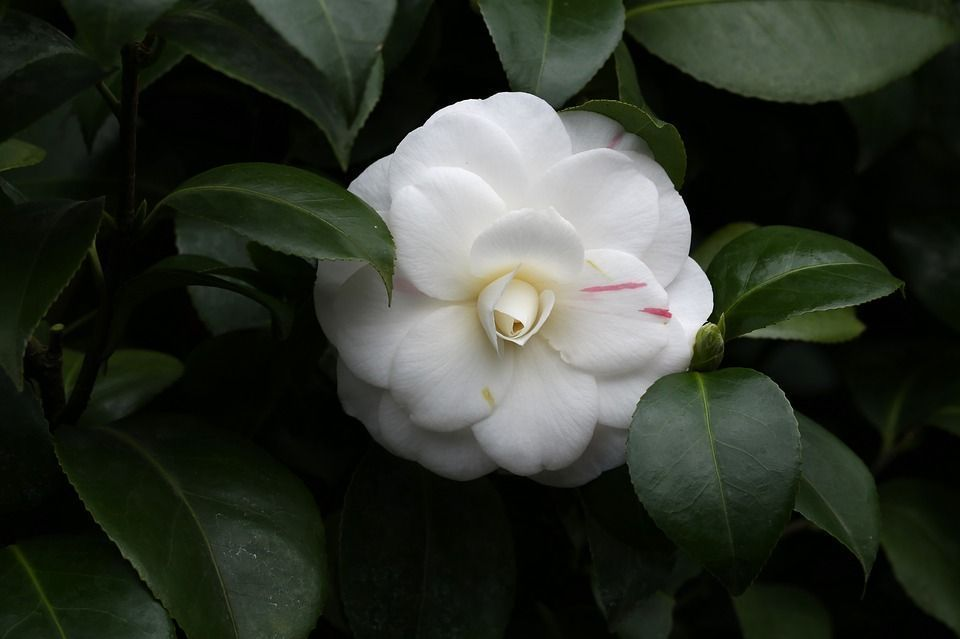 Camellia Sasanqua Flor Perfumada Del Otono - Camelia-cuidados