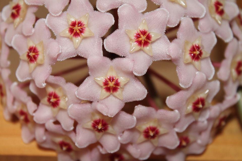 flor-de-cera