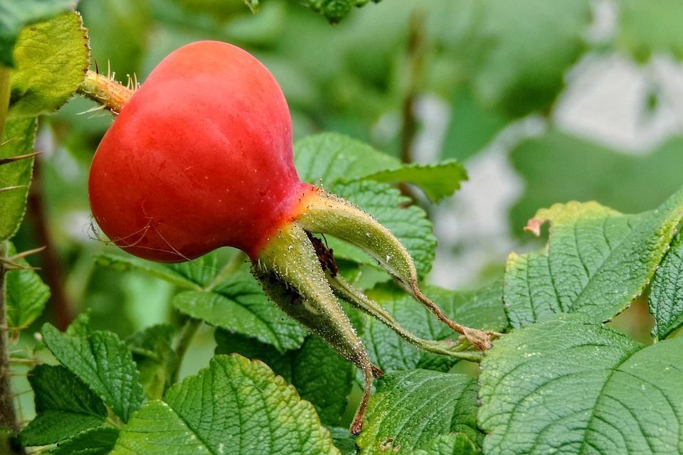 fruto-rosa-rugosa