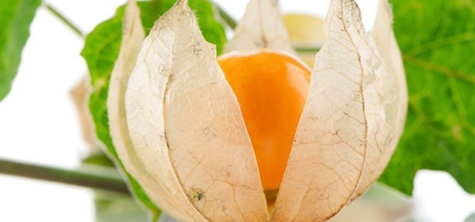 ginseng-indio-planta-atributos