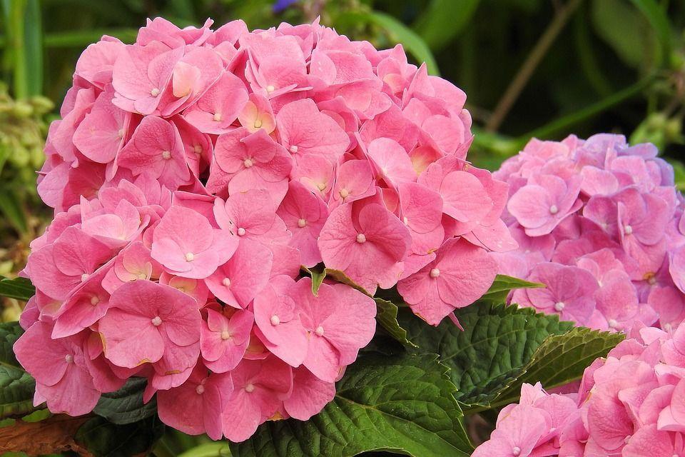 hortensia-rosa