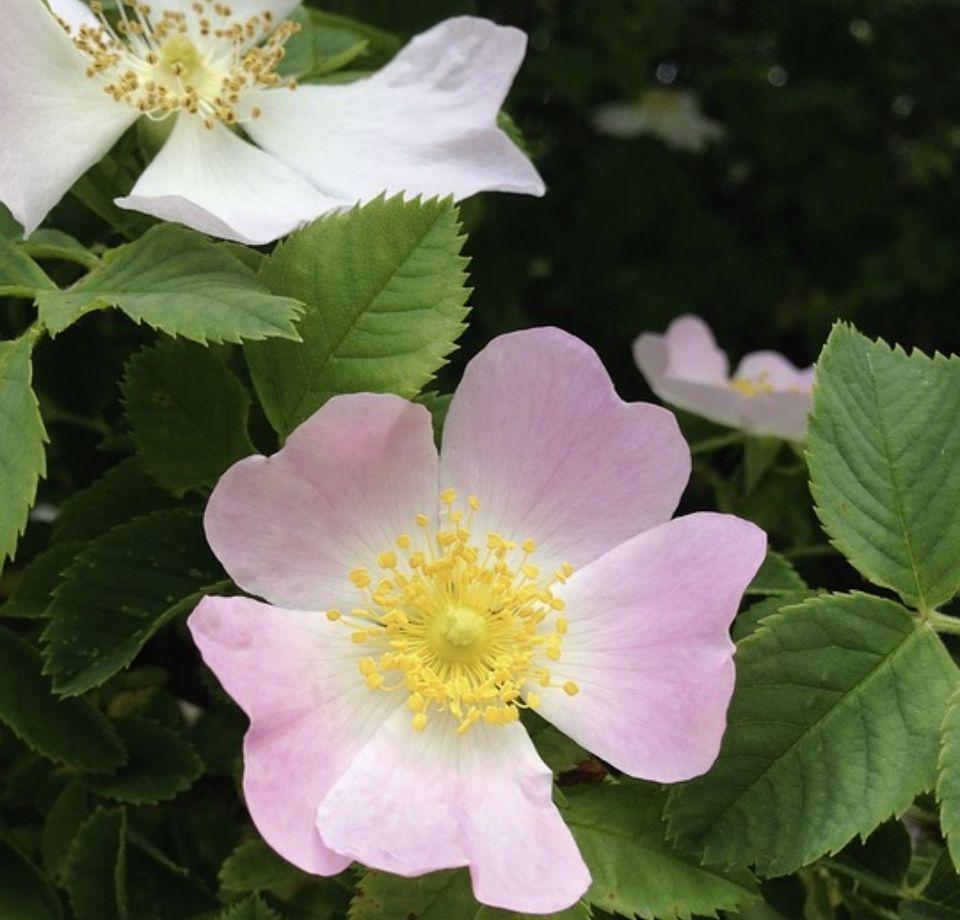 rosa-rugosa-cuidados
