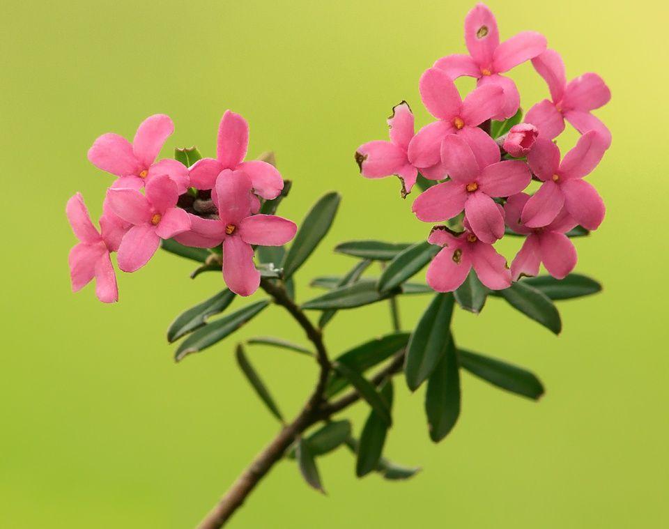 torvisco-pirineos-arbusto