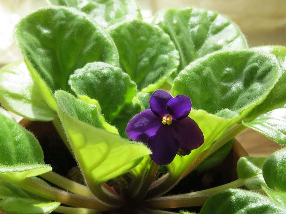 esquejes de hoja de violeta