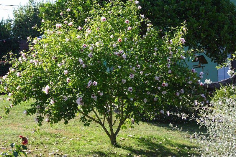 hibiscus-arboreo