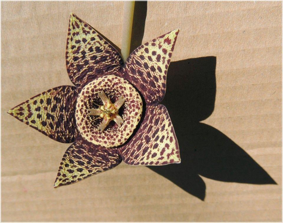 flor de lagarto