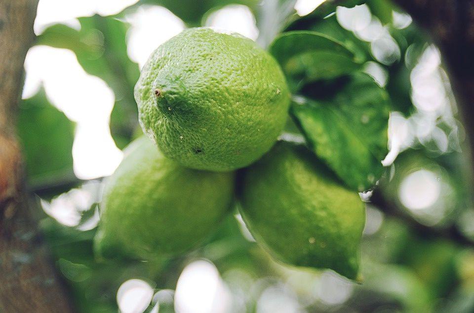 cultivo-limonero