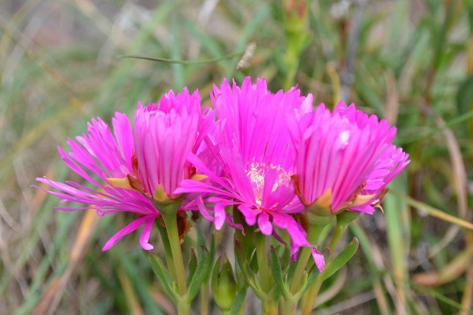 disphyma-crassiofolium