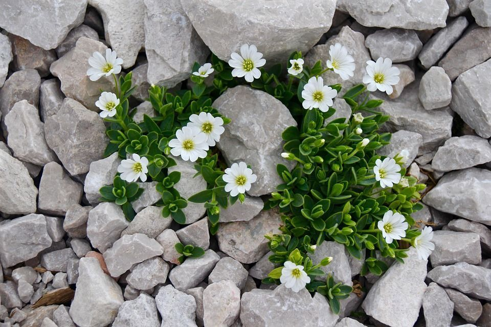 plantas-de-rocalla
