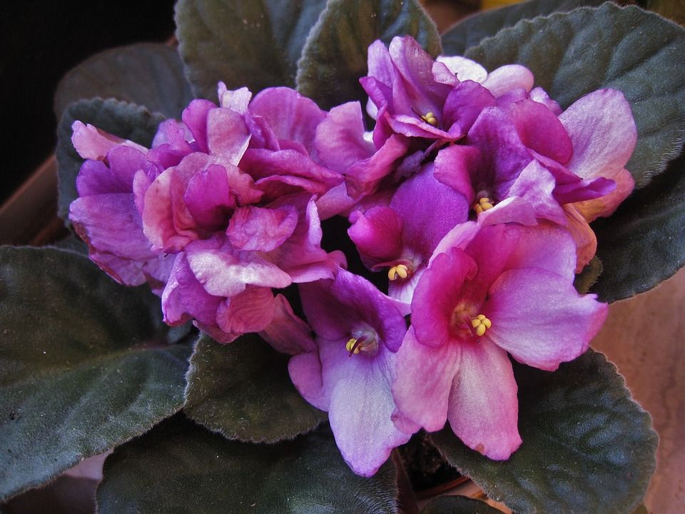 violeta-africana1