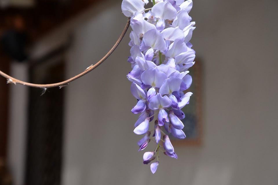 Wisteria sinensis flores racimos