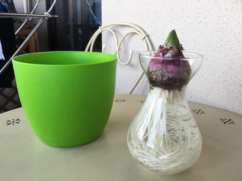 Jacintos en vasos de cristal