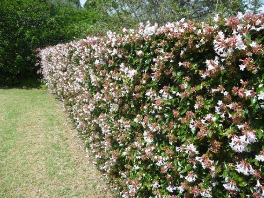 Abelia un peque o arbusto de bella y prolongada floraci n for Arbustos jardin pequeno