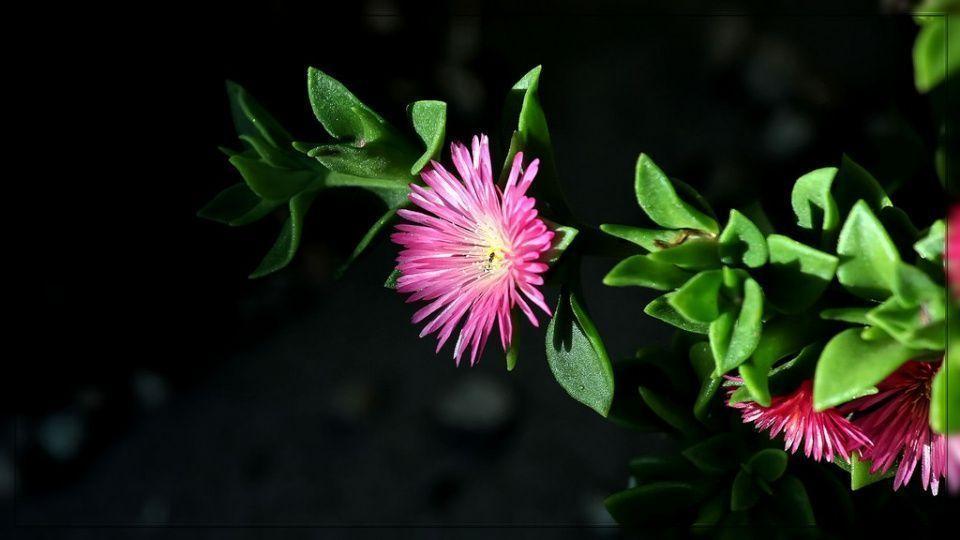 Aptenia cordiflora suculenta