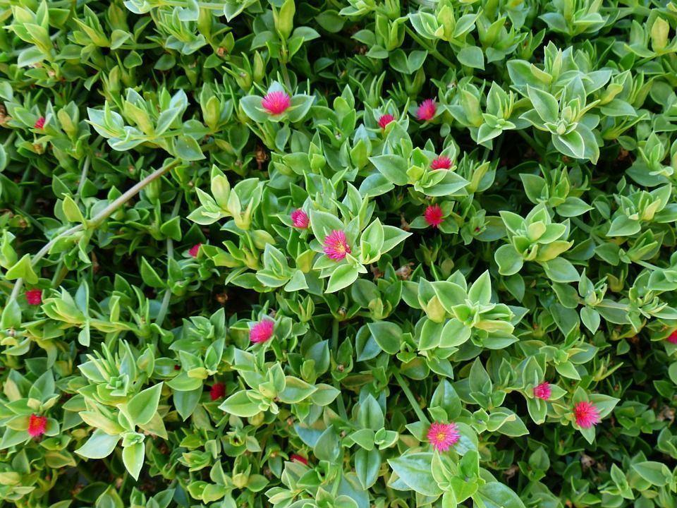 Aptenia cordiflora