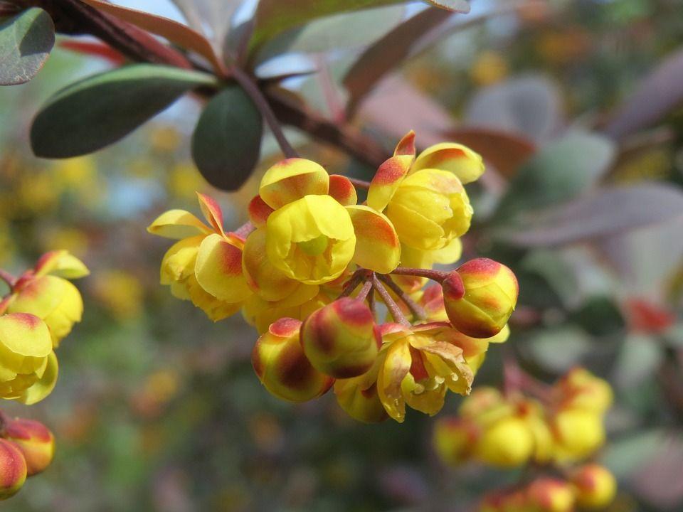 Berberis ottawensis arbusto