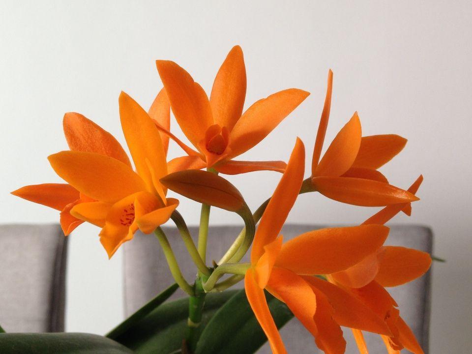 Cattleya aurantiaca cuidado