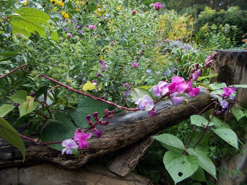 Lablab purpureus planta
