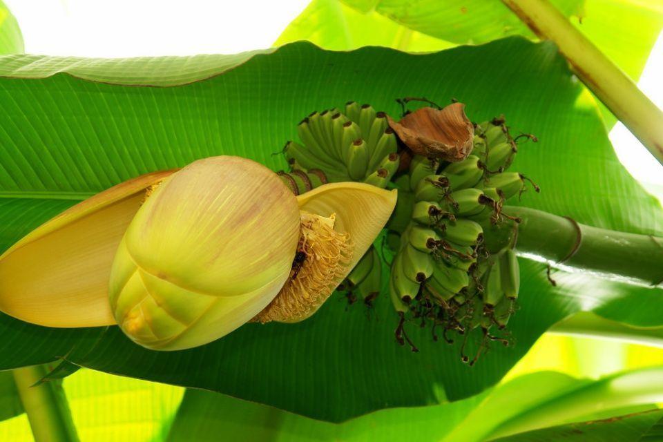 Musa basjoo planta