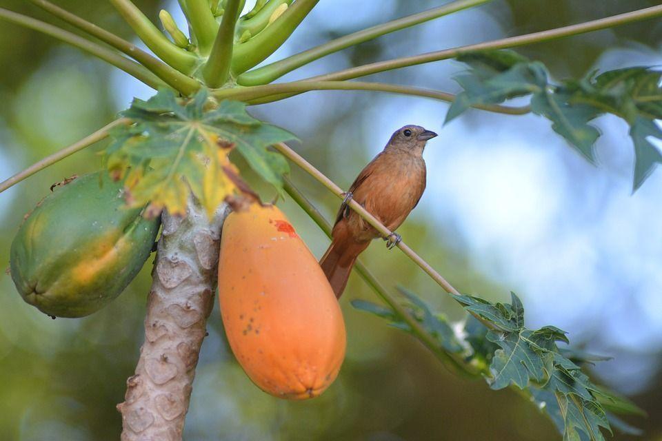 Papaya cultivo