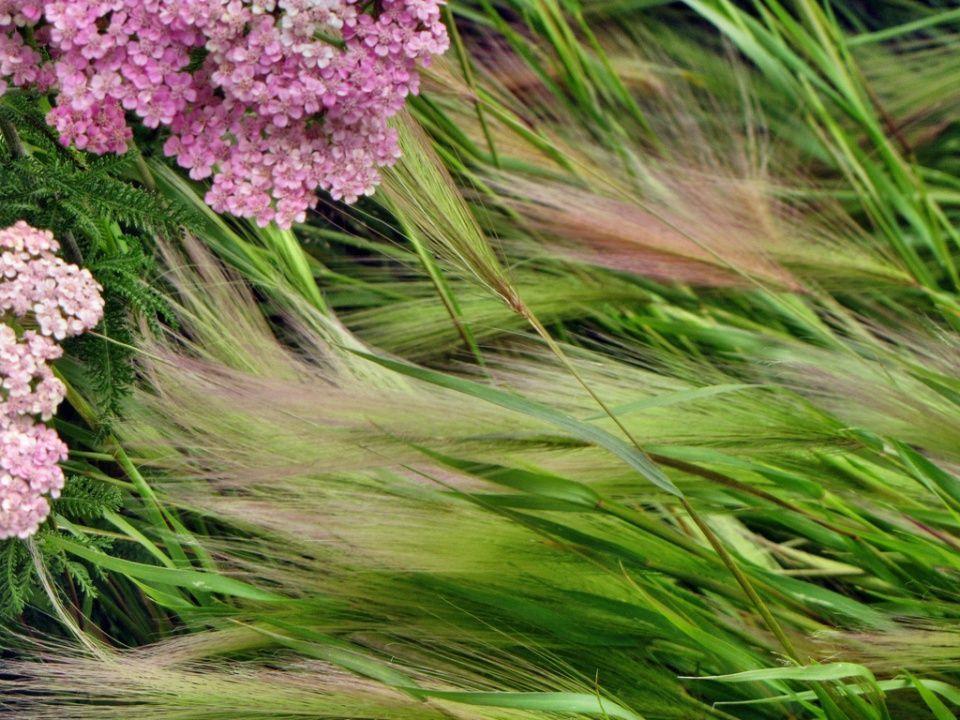 Stipa tenuissima planta