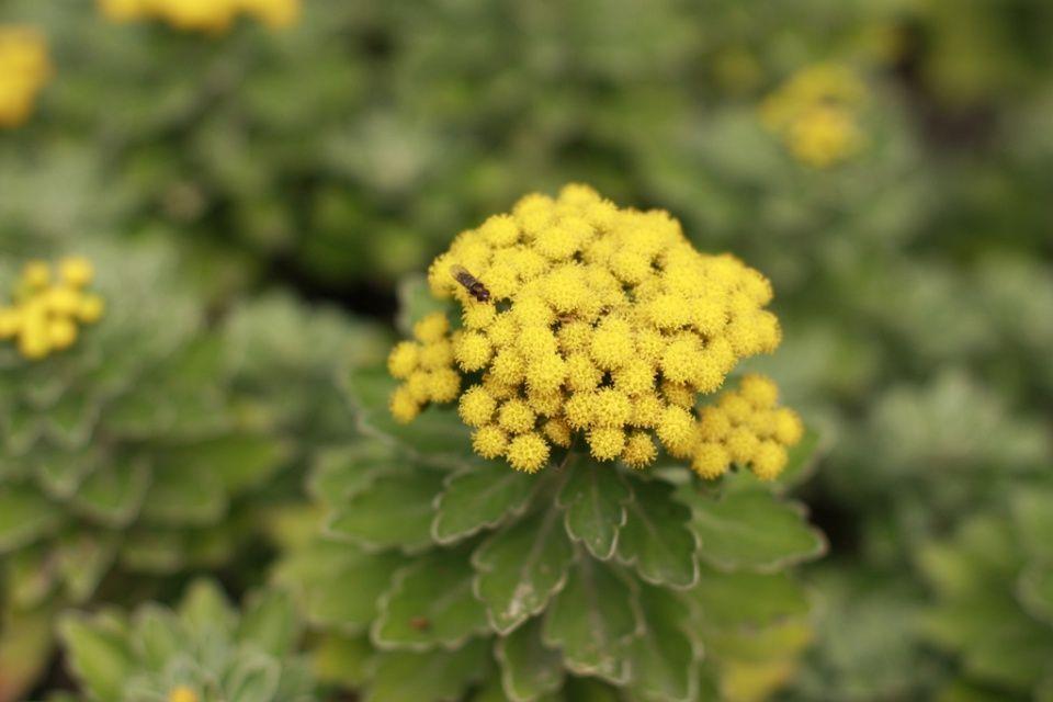 Ajania pacifica planta
