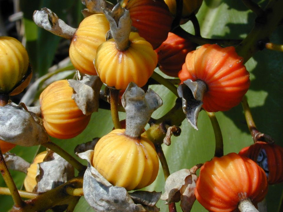 Alpinia zerumbet fruto