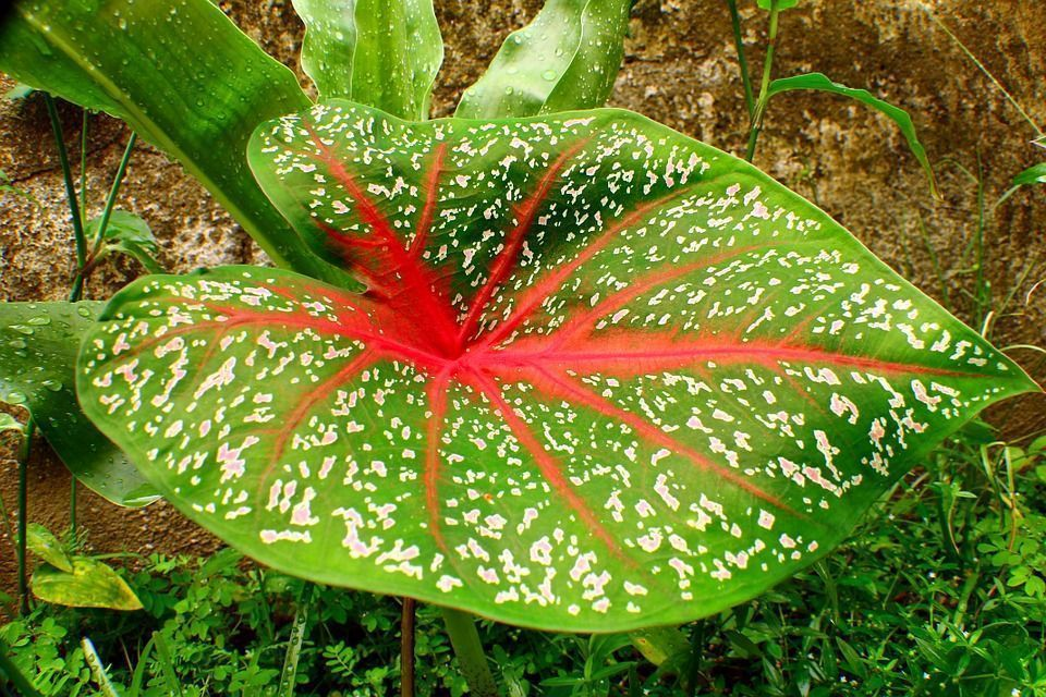El Caladium Una Planta De Interior Vistosa Y Colorida