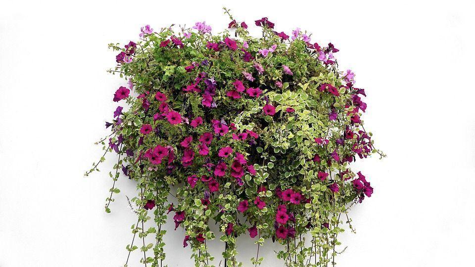 cuidados y mantenimiento de las plantas colgantes